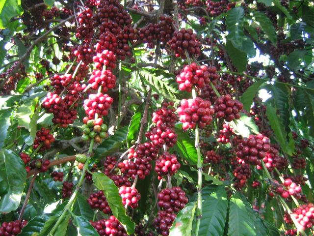 Giá cà phê trong nước bật tăng 500 nghìn/tấn ngày 5/11