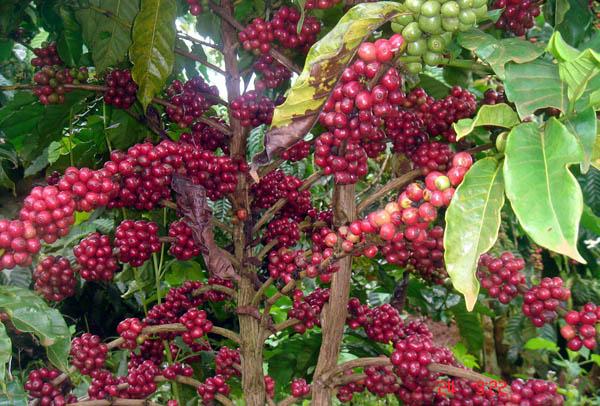 Tin thị trường - Giá cà phê Việt Nam và Thế giới ngày 04-05-2016