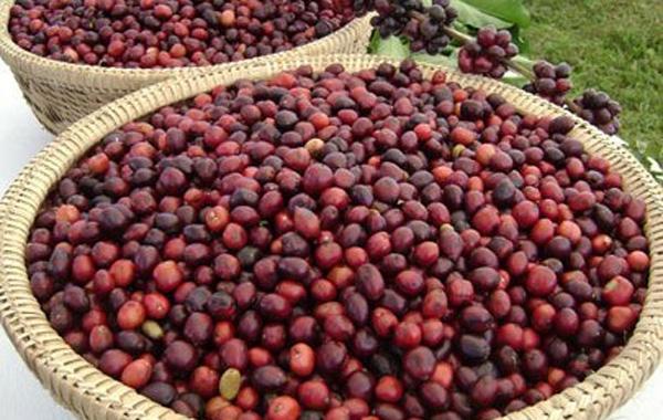 Bản tin thị trường cà phê ngày 11/12