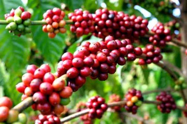 Việt Nam đứng thứ 3 về kim ngạch xuất khẩu cà phê tại Hoa Kỳ