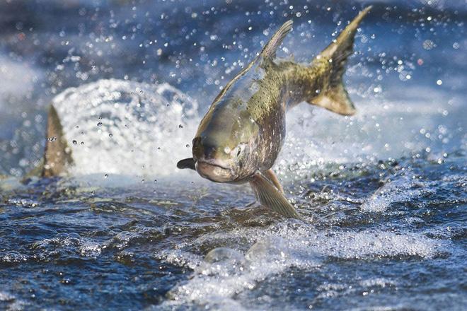 Khi cá hồi làm cứu cánh cho dầu mỏ