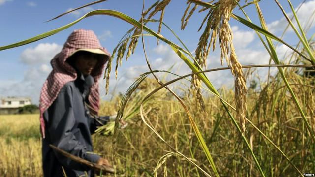 Điều gì khiến Campuchia từ quốc gia đói nghèo, sau 10 năm có gạo xuất khẩu tới 63 thị trường, thu nhập người nông dân tăng 100% chỉ nhờ trồng lúa? - Ảnh 3.