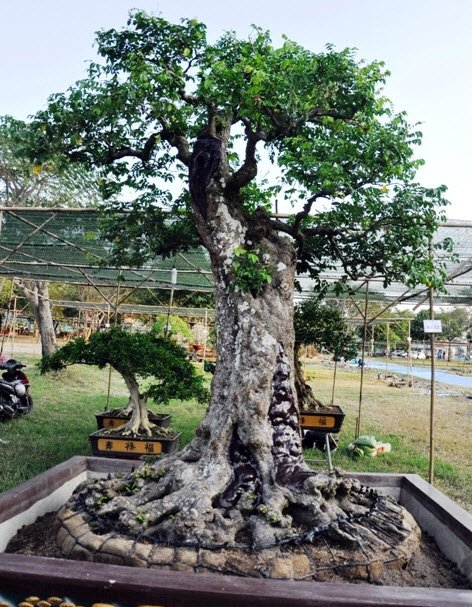 Cặp khế hơn 100 tuổi giá hơn 1,2 tỷ ở Sài Gòn