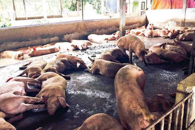 Khống chế hoàn toàn nguồn cung chất cấm cho chăn nuôi!?