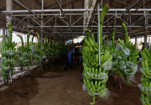 Những lão nông kiếm tiền tỷ từ nông sản khổng lồ
