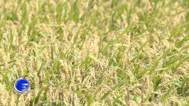 Video - Hậu Giang với xu thế phát triển gạo sạch