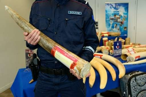 Một nhân viên thuế cầm chiếc ngà voi bị tịch thu - Ảnh: AFP