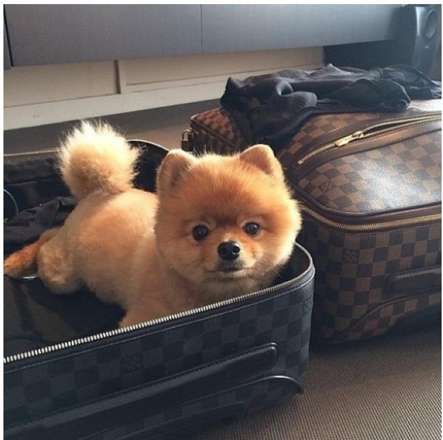 thu cung cung co vali xin
