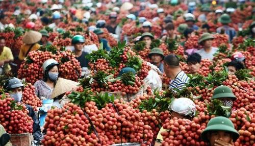 Bắc Giang: Khởi động mùa vải thiều 2016