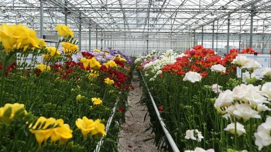 khu freesia gioi thieu ve hoa loa ken
