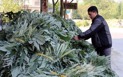 Thu tiền tỷ mỗi năm từ trồng cây atiso