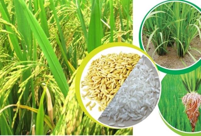 Thị trường lúa gạo châu Á: Giá tại Ấn Độ thấp nhất 1 năm, gạo Thái Lan và Việt Nam vững