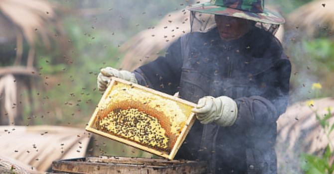 Mùa thu hoạch mật ong bạc hà ở cao nguyên đá