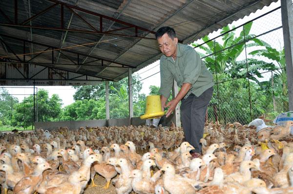 """Nhập gà Trung Quốc: Chưa mở đã lo """"loạn"""""""