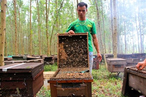 Nghề nuôi ong mật 'du mục' theo mùa hoa