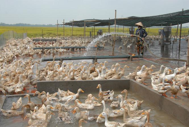 Lãi lớn từ mô hình nuôi vịt an toàn sinh học