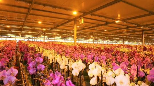 khu levoplant - chuyen hoa phong lan