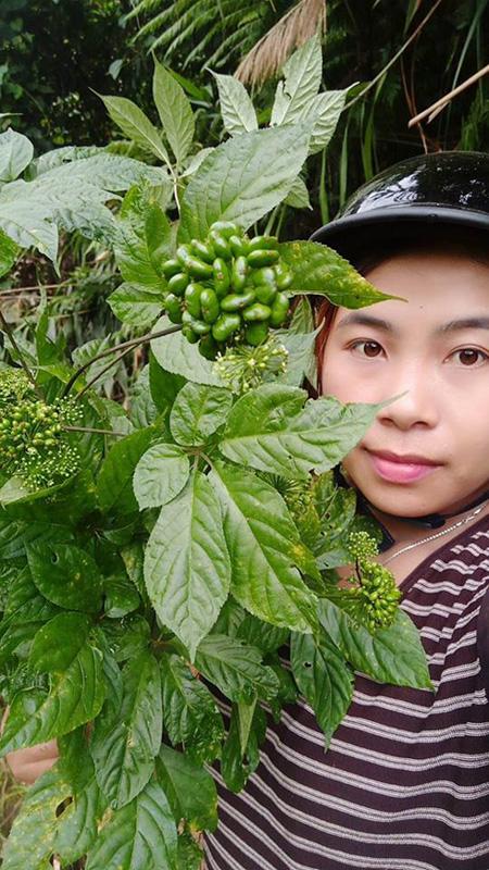 Sâm Ngọc Linh, sâm Việt Nam, sâm quý, nhân sâm, sâm giả