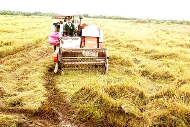 Giá gạo Việt Nam giảm khi vào mùa thu hoạch, gạo Thái Lan vững