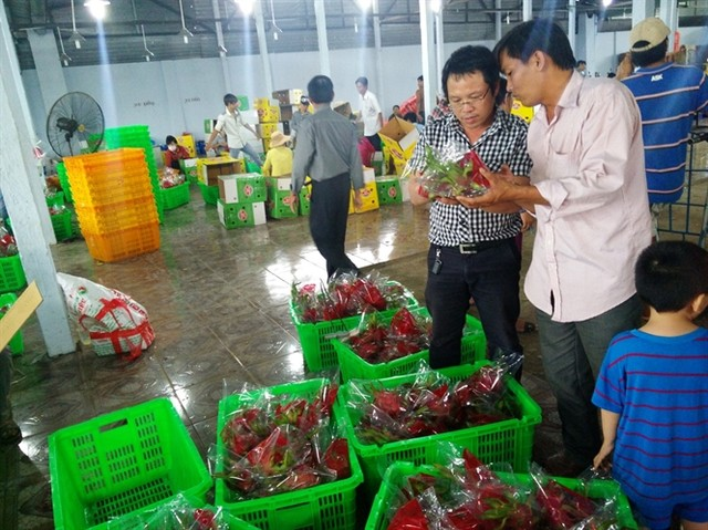 Thương lái Trung Quốc thao túng thanh long Bình Thuận