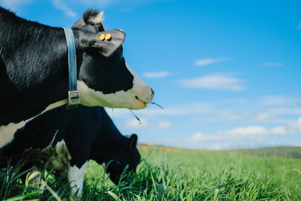 Trang trại bò sữa Organic: Bước tiến mới của sữa Việt
