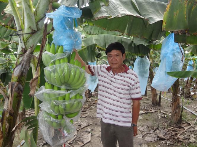 Bí quyết làm giàu: Trồng chuối già xuất khẩu