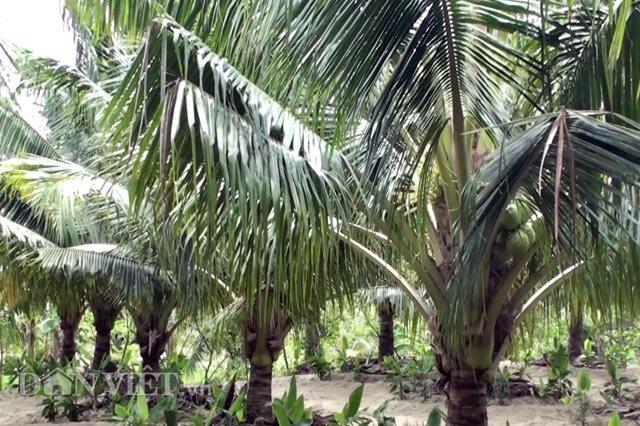 dừa xiêm, làm giàu, nông dân, dừa