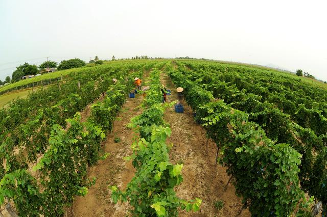 vung nguyen lieu cho nho lam vang cua ladora winery