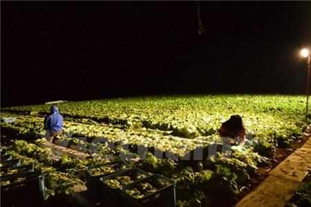 Câu chuyện thoát nghèo từ cây xà lách của người Nhật Bản
