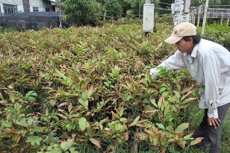 """""""Vương quốc"""" cây giống, hoa kiểng thiệt hại hàng chục tỷ đồng do xâm nhập mặn"""