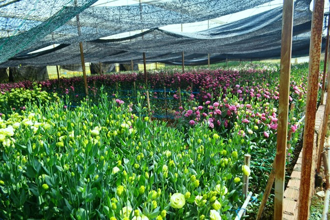 Nhà vườn Đà Lạt lỗ nặng vì cát tường, hoa ly nở trước Tết