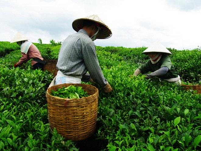 Pakistan- thị trường xuất khẩu chè lớn nhất của Việt Nam