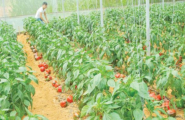 Cảnh báo xuất khẩu rau quả sang EU: Đến hẹn lại lên?